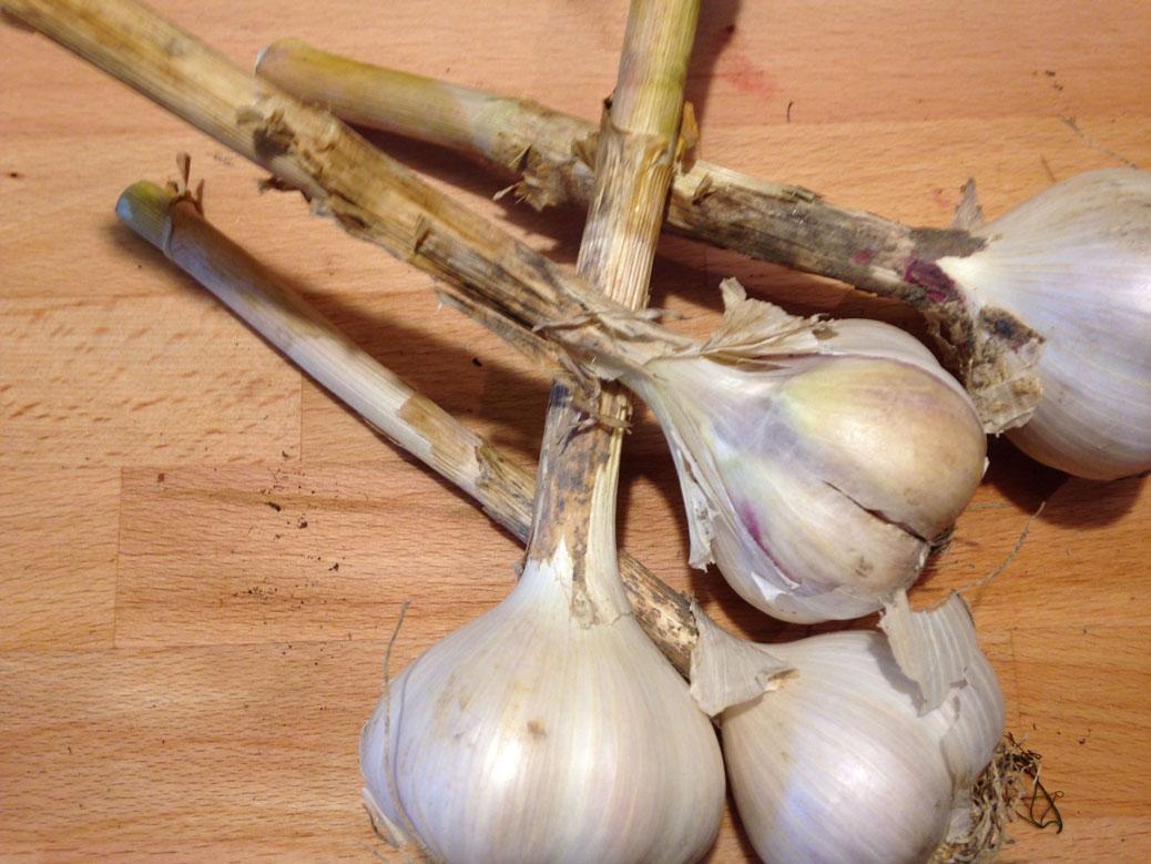 First garlic